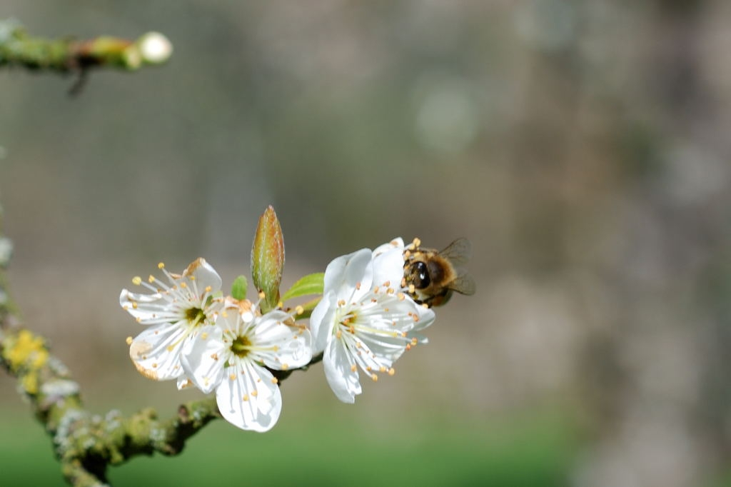 2008-03-29 - Abeille Prunier 2