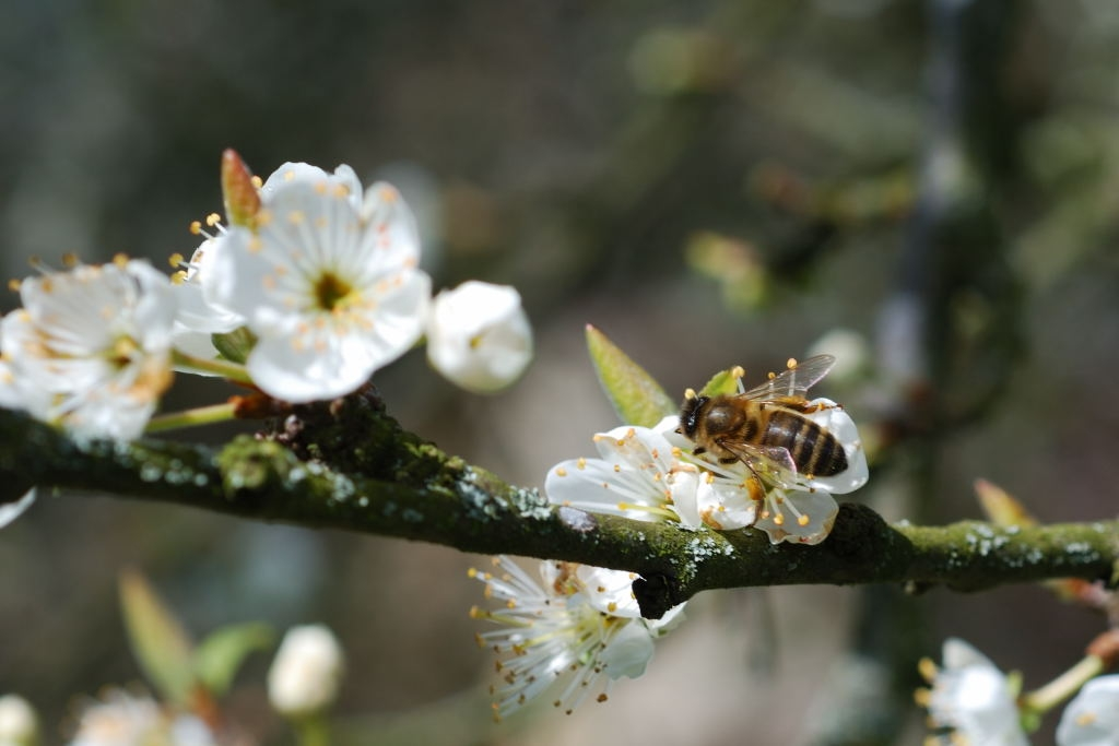 2008-03-29 - Abeille Prunier 5