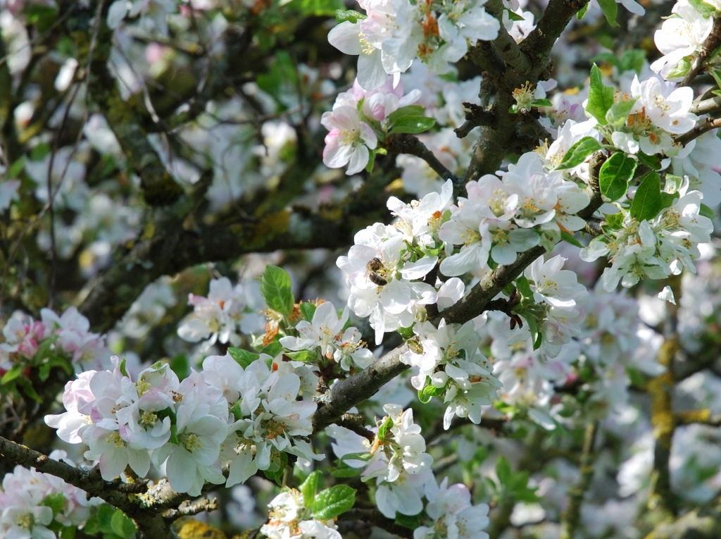 2008-05-04 - Abeille Pommier 1