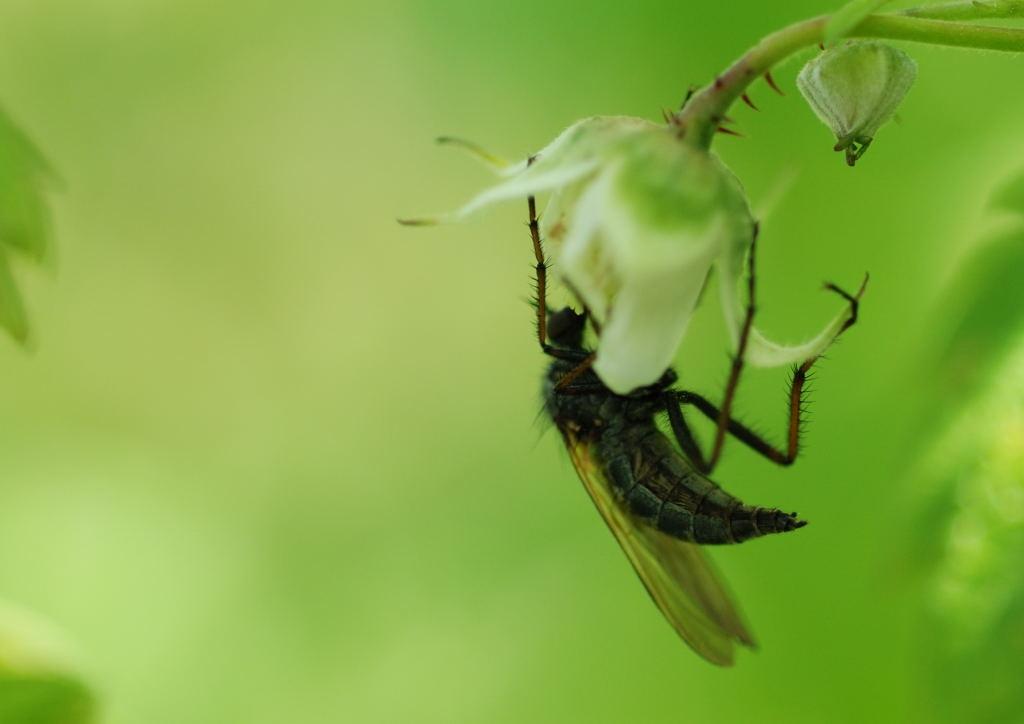 2008-05-17 - Diptère (Empidide femelle) et framboisier