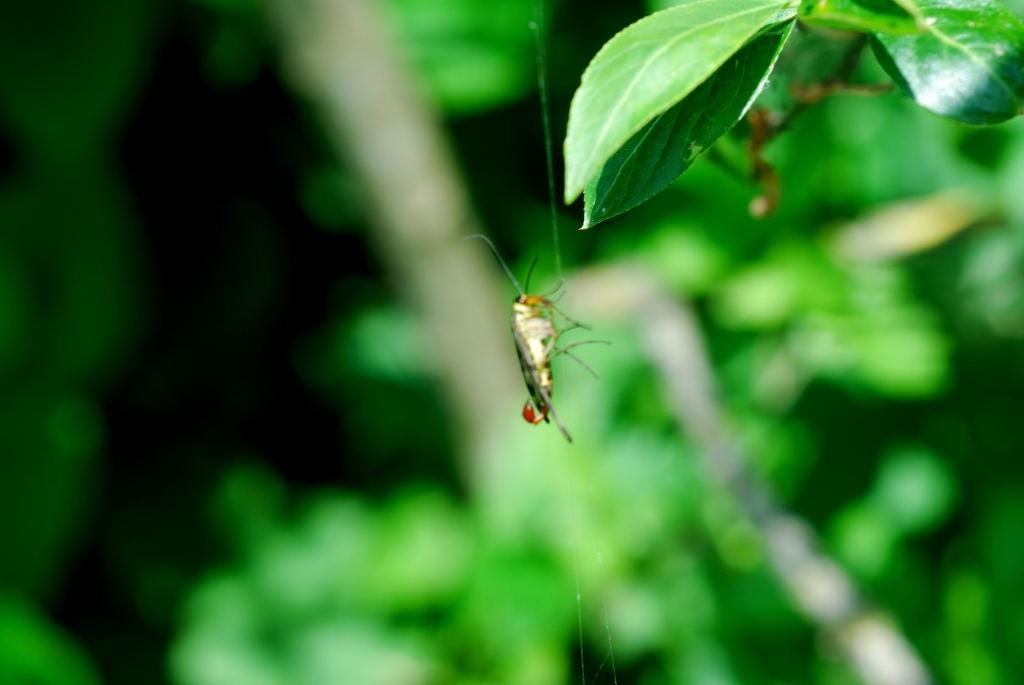 2008-05-17 - Mécoptère (Panorpide Panorpa sp. mâle) 1