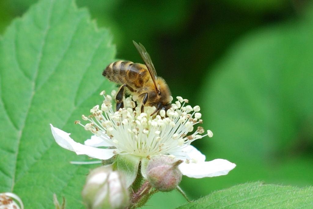 2008-06-08 - Abeille sur fleur de ronce