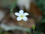 (Arenia montana) 2008-06-13 - 1