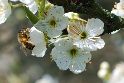 2008-03-29 - Abeille Prunier 6