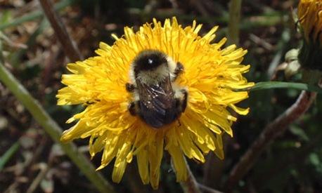 shrill-carder-bee-001