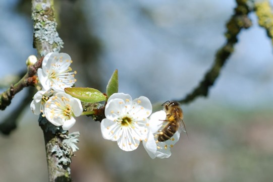 2008-03-29 - Abeille Prunier 4
